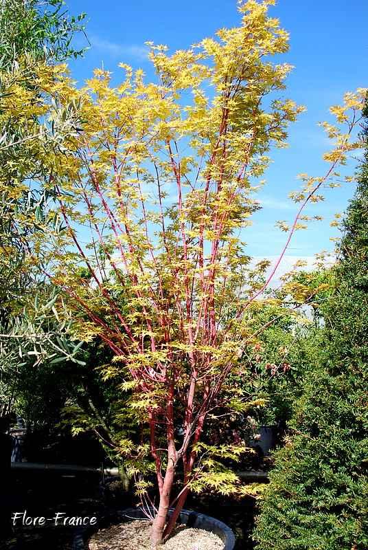 plantes oasis erable du japon senkaki acer palmatum senkaki. Black Bedroom Furniture Sets. Home Design Ideas