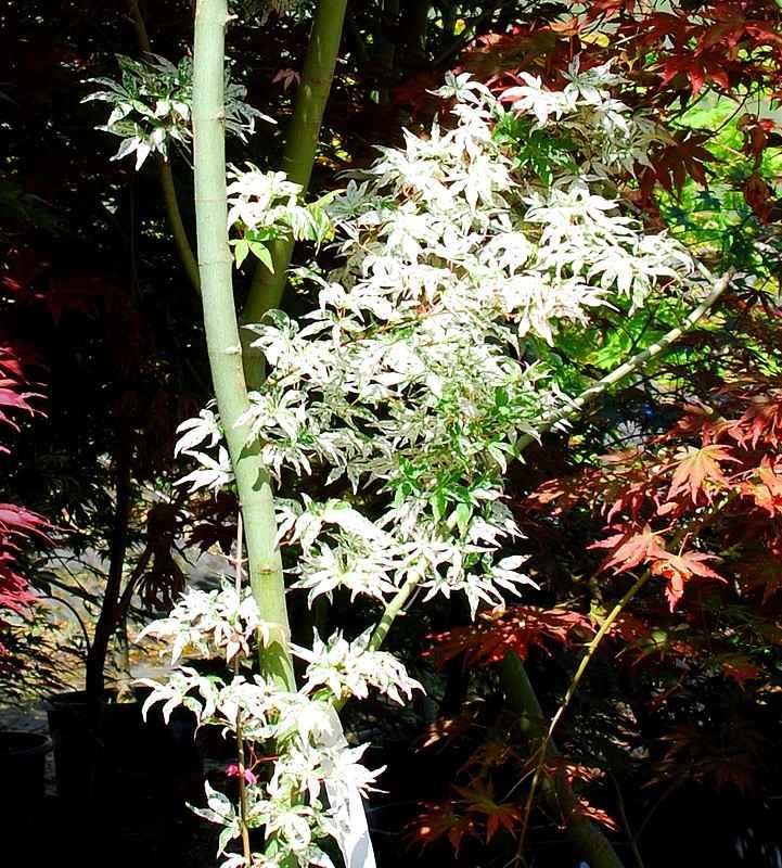 Plantes oasis erable du japon ukigumo - Arbuste japonais persistant ...