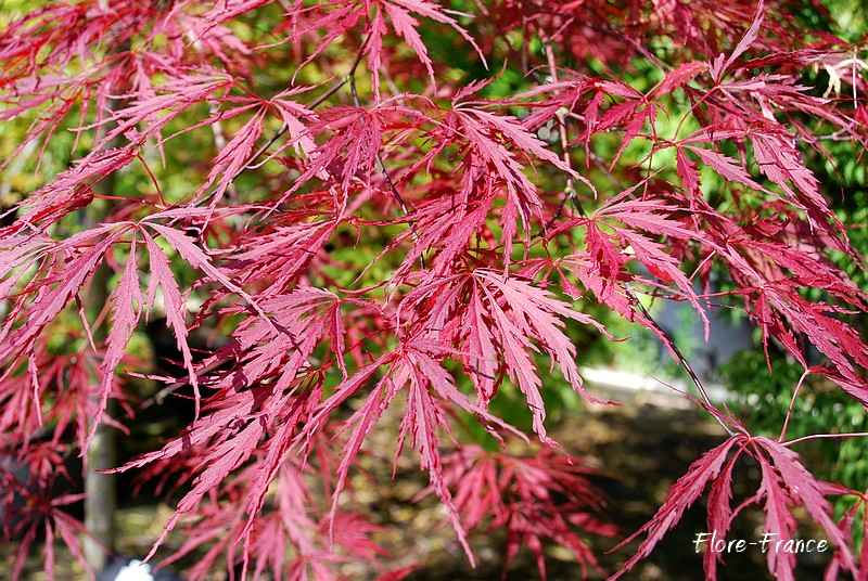 plantes oasis erable du japon dissectum garnet acer palmatum dissectum garnet. Black Bedroom Furniture Sets. Home Design Ideas
