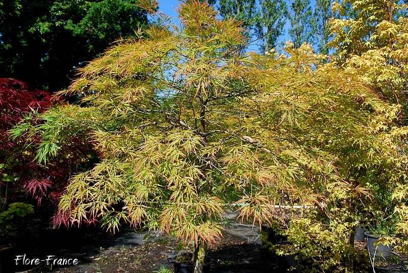 Plantes oasis erable du japon feuille lacini e - Arbuste japonais persistant ...