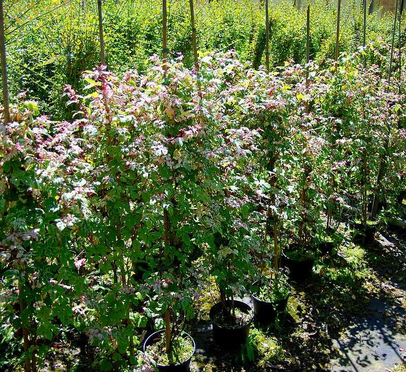 Plantes oasis fausse vigne vierge elegans for Vigne vierge grimpante feuillage persistant