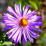 Photo Aster de la nouvelle Angleterre Barr s blue