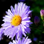 Photo Aster de la nouvelle Belgique plenty
