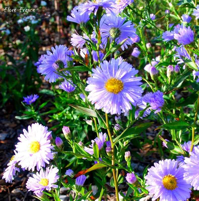 Plantes oasis aster de la nouvelle belgique plenty for Plantes belgique