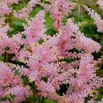 Photo Astilbe du Japon Europa