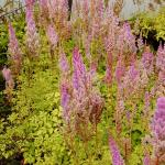 Photo Astilbe de Chine pumila