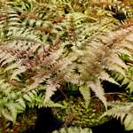 Photo Athyrium nipponicum Metallicum