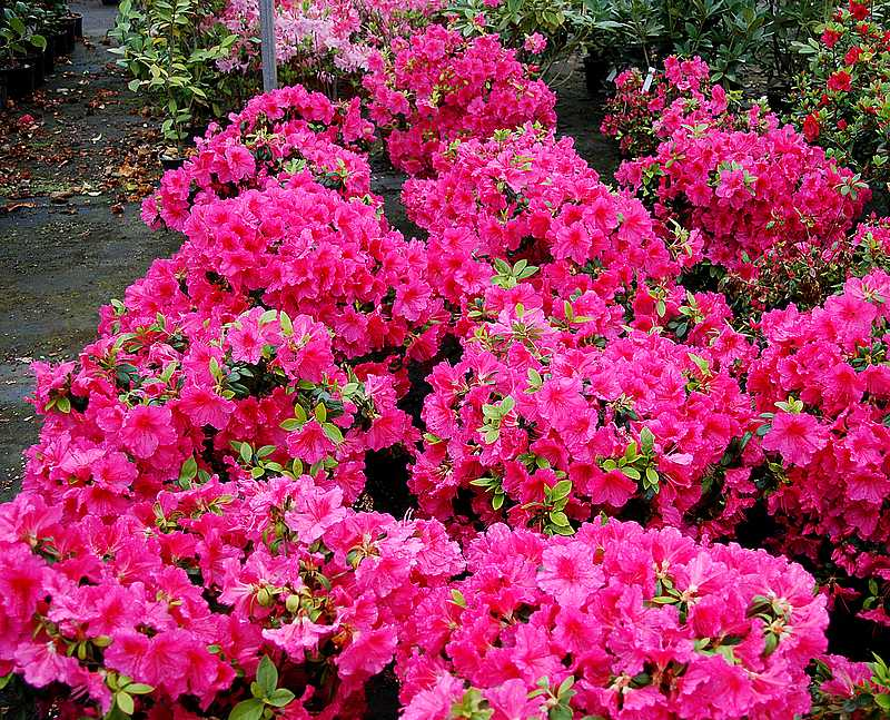 Plantes oasis azal e japonaise vuyck for Azalea japonica