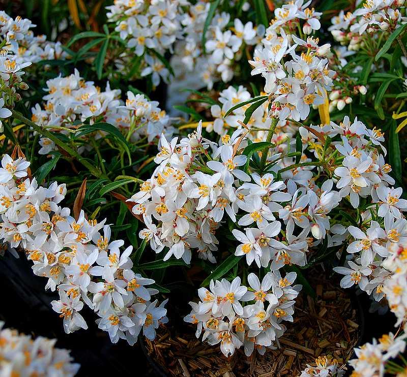 Plantes oasis oranger du mexique aztec pearl - Plante du mexique ...