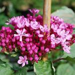 Photo Clerodendron de Bunge pink diamond