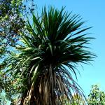 Photo Cordyline australe
