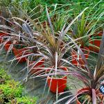 Photo Cordyline pourpre