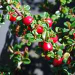 Photo Cotoneaster microphyllus