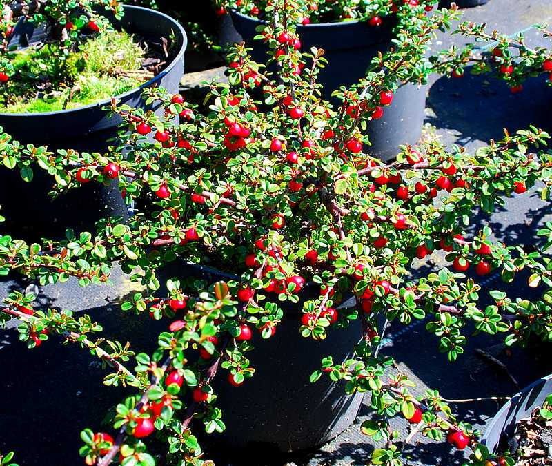 Cotoneaster microphyllus