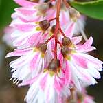 Photo Deutzia scabra Plena