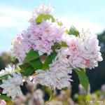 Photo Deutzia hybrida Pink Pompon