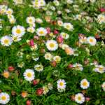 Photo Erigeron Karvinskianus blutenmeer