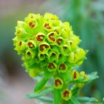 Photo Euphorbe characias Wulfenii