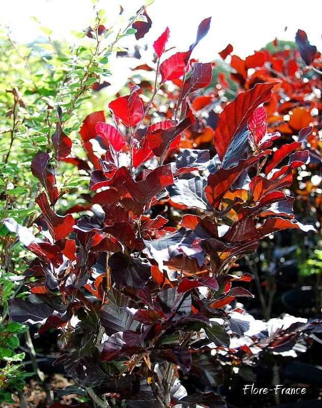 plantes oasis  hêtre fastigié dawyck pourpre