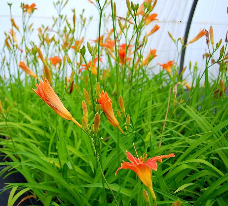 Plante oasis catalogue plantes for Catalogue de fleurs vivaces