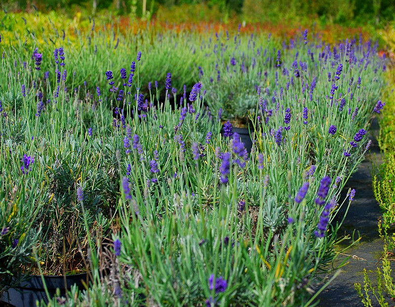 plantes oasis lavande vraie hidcote blue lavandula. Black Bedroom Furniture Sets. Home Design Ideas