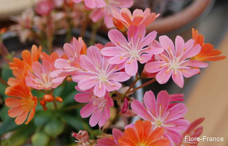 Photo Lewisia cotyledon