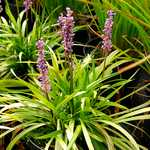 Photo Liriope muscari ingwersen