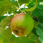 Photo Pommier belle de Boskoop