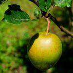 Photo Pommier Calville rouge