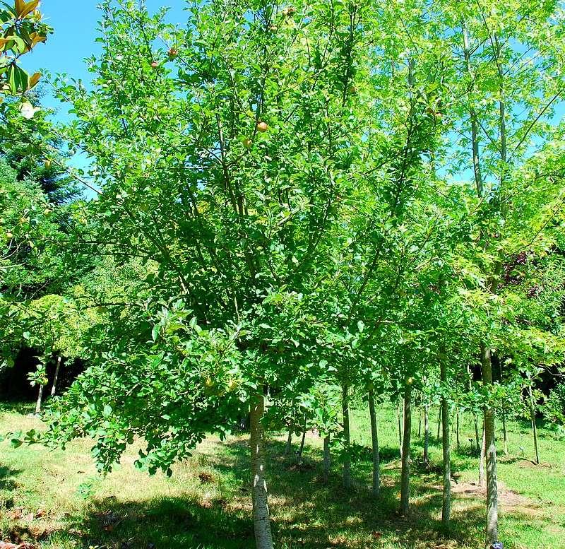 Plantes oasis pommier pomme d 39 amour - Pommier d amour entretien ...