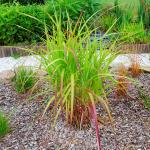 Photo Miscanthus sinensis Hybrid late