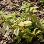 Photo Pachysandra terminalis green carpet