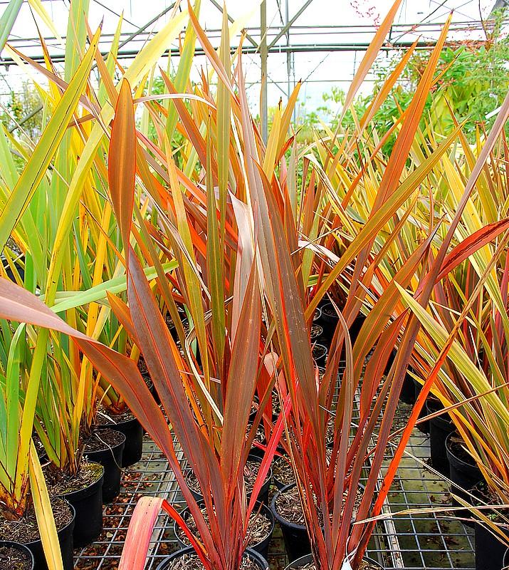 plantes oasis lin de nouvelle z lande pourpre phormium tenax purpureum. Black Bedroom Furniture Sets. Home Design Ideas