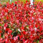 Photo Photinia fraseri purple Peter