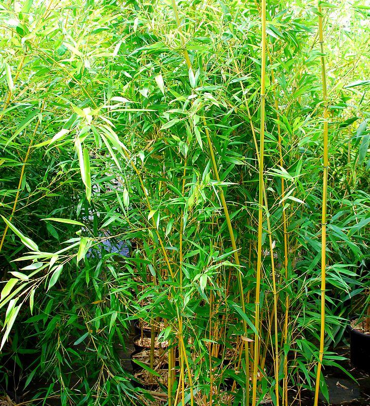 plantes oasis bambou bambusoides castillonis phyllostachys bambusoides castillonis. Black Bedroom Furniture Sets. Home Design Ideas