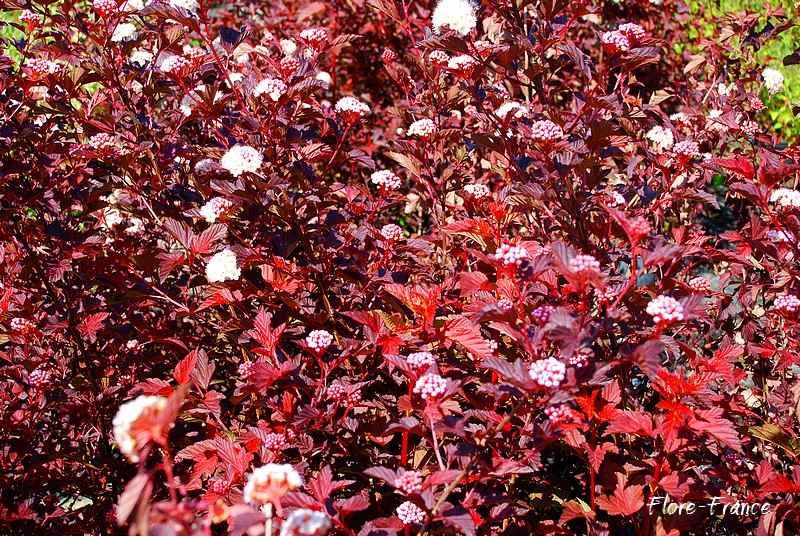 plantes oasis physocarpe feuilles d 39 obier diabolo. Black Bedroom Furniture Sets. Home Design Ideas