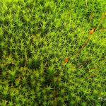 Photo Polytrichum commune
