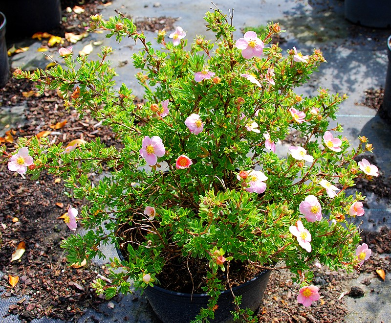 Potentille fruticosa Lovely Pink®