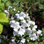 Photo Prostanthera cuneata