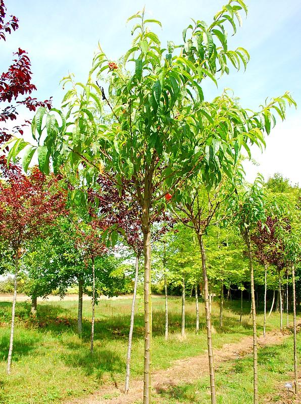 plantes oasis p cher charles ingouf prunus persica charles ingouf. Black Bedroom Furniture Sets. Home Design Ideas