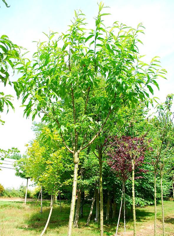 plantes oasis p cher grosse mignonne prunus persica grosse mignonne. Black Bedroom Furniture Sets. Home Design Ideas