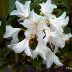 Photo Rhododendron Cunningham s white