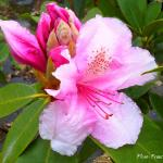Photo Rhododendron Pink pearl
