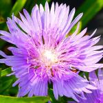 Photo Stokesia laevis blue star
