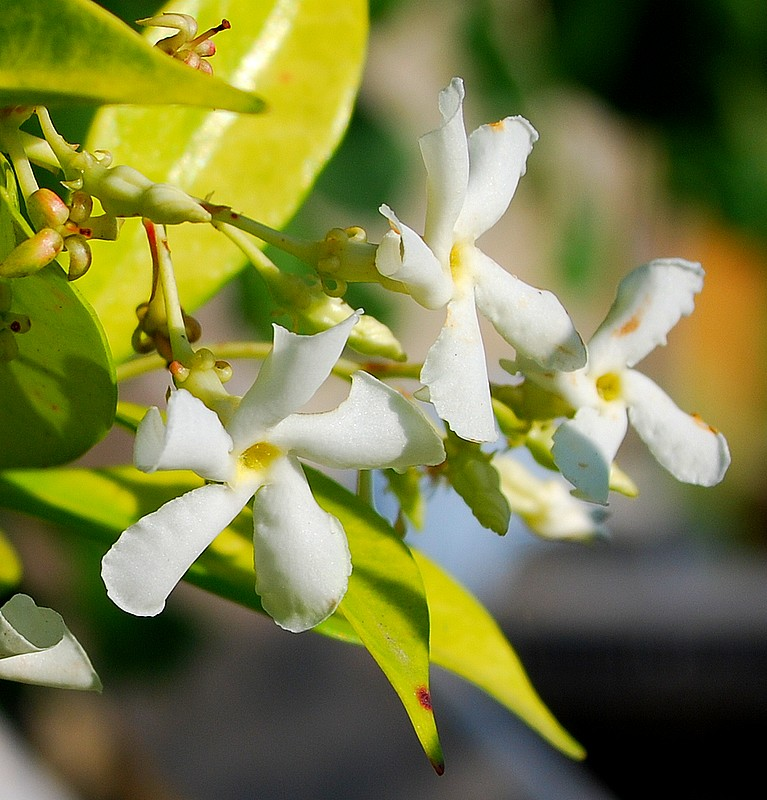 plantes oasis jasmin toil trachelospermum jasminoides. Black Bedroom Furniture Sets. Home Design Ideas