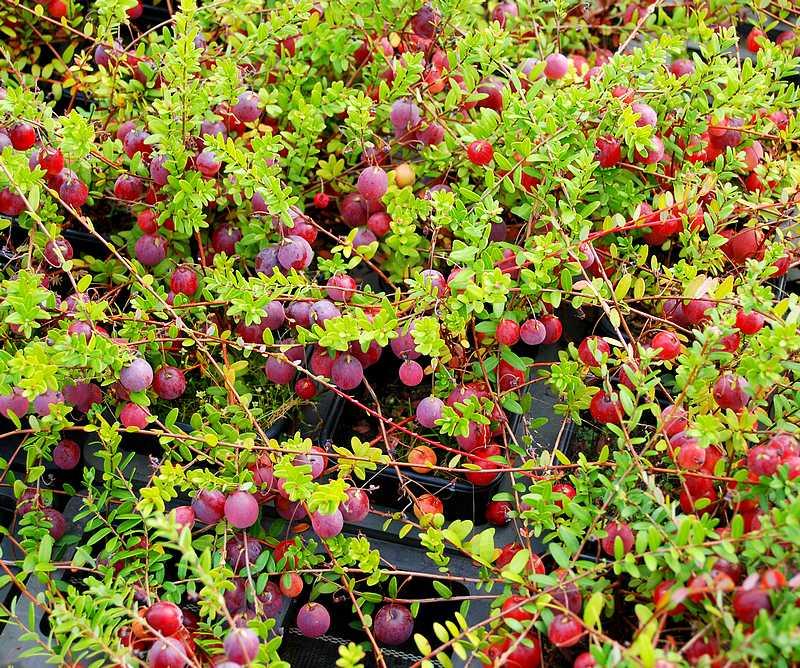 Plantes oasis myrtille macrocarpon big pearl vaccinium for Vaccinium macrocarpon