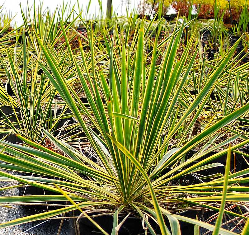 plantes oasis yucca filamentosa bright edge. Black Bedroom Furniture Sets. Home Design Ideas