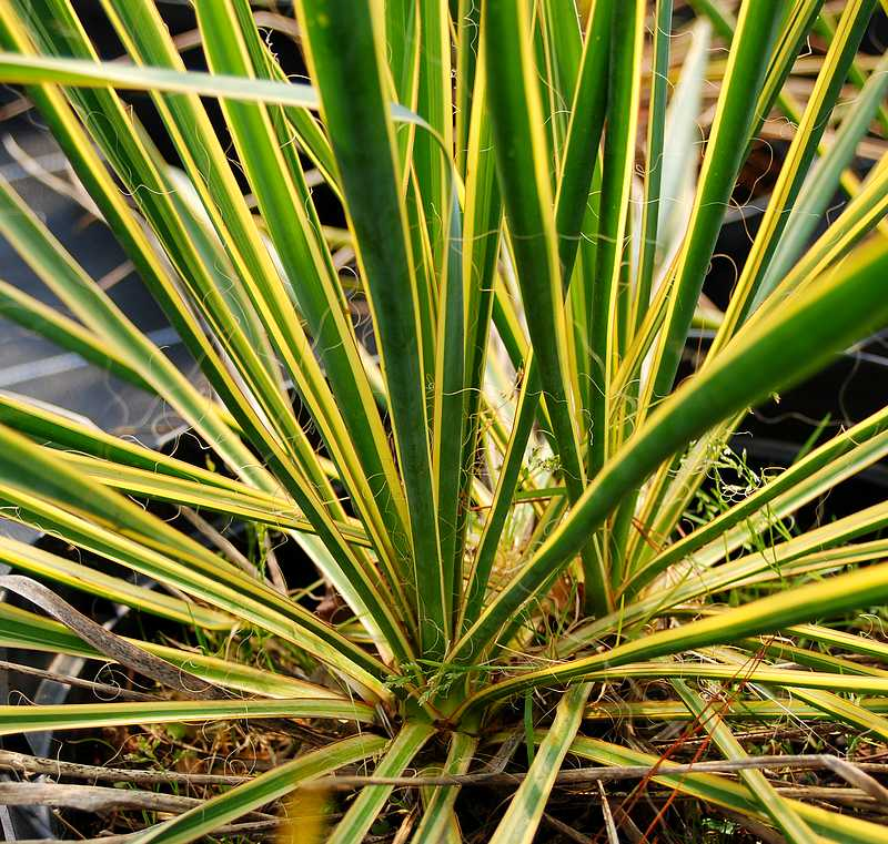 Plantes oasis yucca filamentosa bright edge yucca for Yucca exterieur feuille jaune
