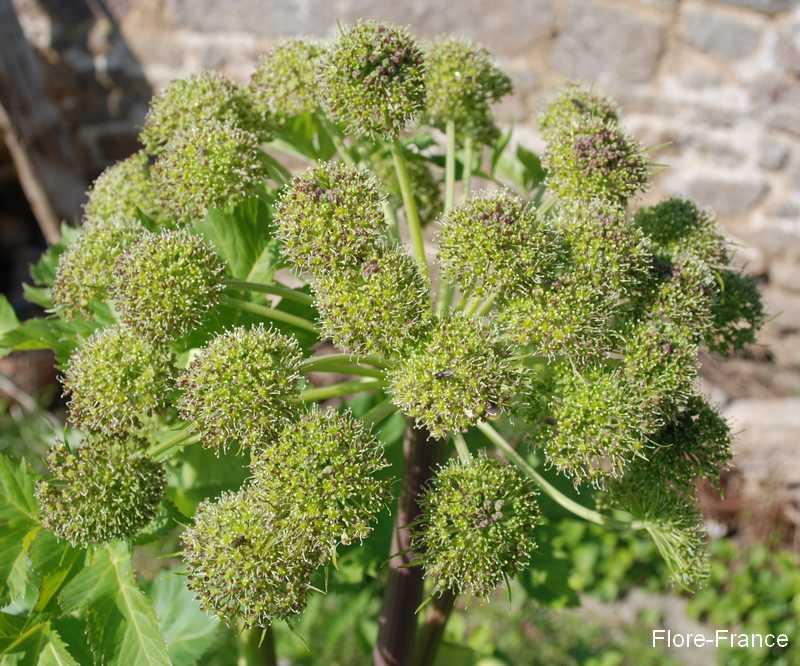 Plantes oasis ang lique for Plante angelique
