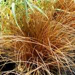 Photo Carex flagellifera